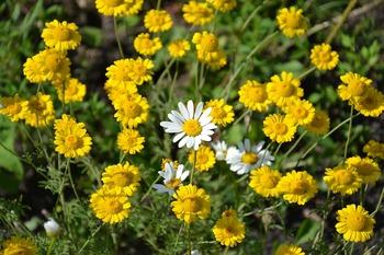 daisy-1516631_960_720.jpg